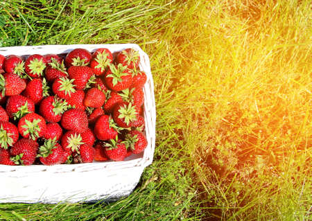 Ripe fresh strawberries in a wicker white basket after picking sweet red berries on the green grass in the garden. Standard-Bild