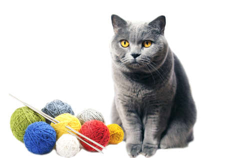 A gray cat with yellow eyes sits near skeins of woolen threads, colored yarn. Scottish breed isolated on a white background. Pet portrait. Standard-Bild