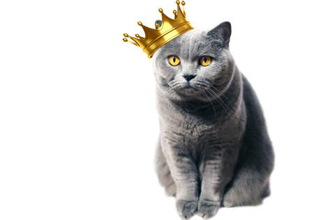 A gray Scottish thoroughbred cat with yellow eyes and a crown on his head sits whimsically on a white background. Pet portrait. Standard-Bild