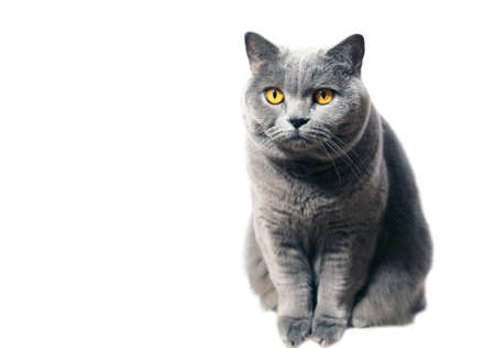 A gray Scottish purebred cat with yellow eyes sits whimsically on a white background. Pet portrait.