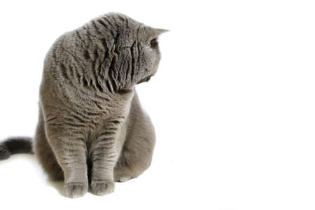 A gray Scottish purebred cat sits whimsically on a white background. Pet portrait. Standard-Bild