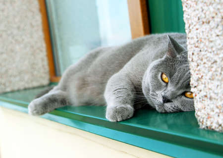 A gray Scottish thoroughbred cat lies on the green windowsill of a private house on the street in hot summer. The pet is sad and waiting. Standard-Bild