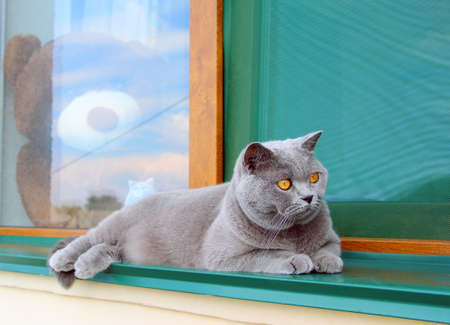 A gray Scottish thoroughbred cat lies on the green windowsill of a private house on the street in hot summer. The pet watches the birds in the garden with curiosity.