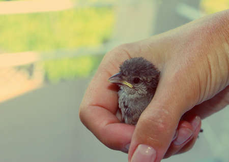 Rescued baby sparrow in hand. Small bird.