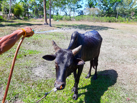 Bathing of native cows raised for agriculture in Asia Standard-Bild - 122132215