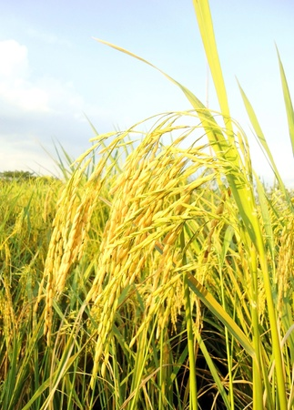 Rice Paddy                                 Stok Fotoğraf