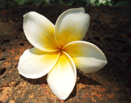 piso piedra: Frangipani flores sobre el suelo de piedra