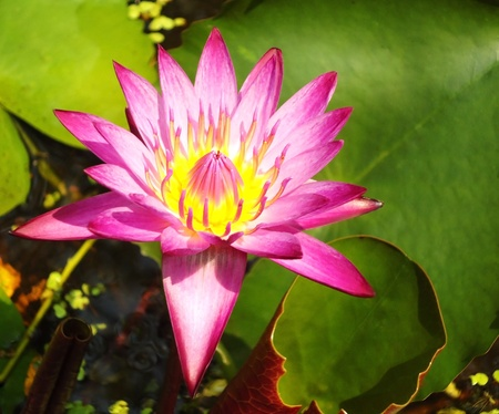 Water lily lotus flower and leaves                        Stock Photo - 13307674