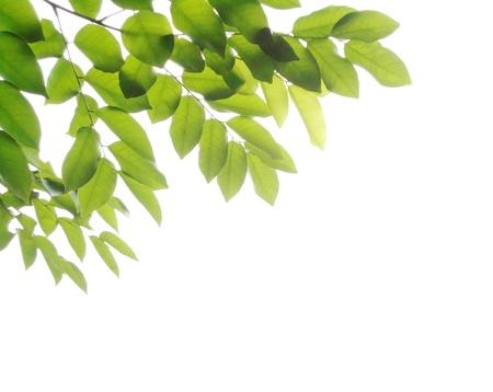 Fresh leaves on white background