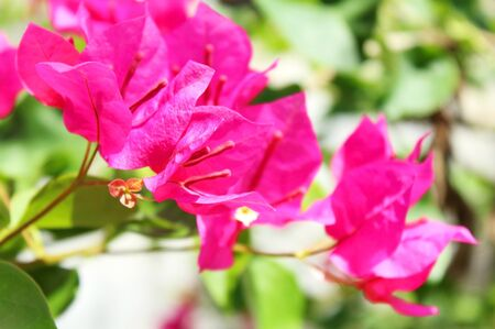 Pink Peper Flower or Bougainvillea hybrida photo