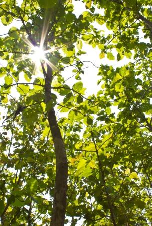 Groene bladeren van teak hout en zon Stockfoto