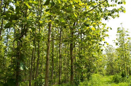 Teak forest with tall trees and natural