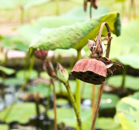 Dry lotus flower in the garden Stock Photo - 14301218