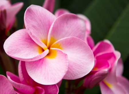 Close up pink frangipani flowers in the garden. photo