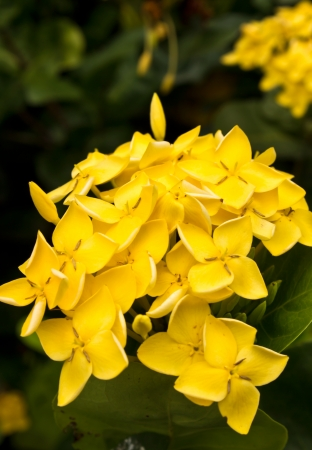 Yellow flower close-up West Indian Jasmine scientific name Ixora chinensis Lamk photo