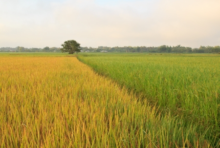 The beautiful landscape of rice fields in Thailand.