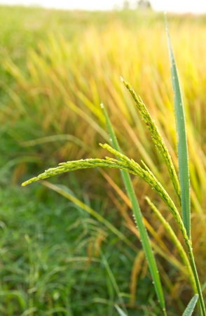 Close up of green paddy rice. photo
