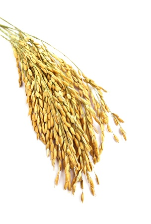 rice grain: Close up wheat isolated on white background