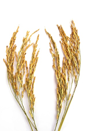 Close up wheat isolated on white background photo