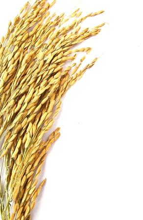 arroz blanco: Cierre de trigo aislado en fondo blanco