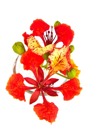 Closeup Pride of Barbados, Isolated on white 스톡 콘텐츠