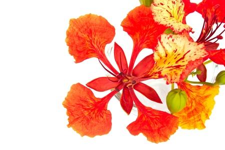 flamboyant: Closeup Pride of Barbados, Isolated on white Stock Photo
