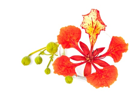 Closeup Pride of Barbados, Isolated on white Background 스톡 콘텐츠
