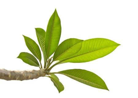 Plumeria leaves isolated on white background.