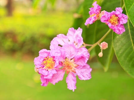 annonaceae: Fresh Cananga flower  Cananga odorata