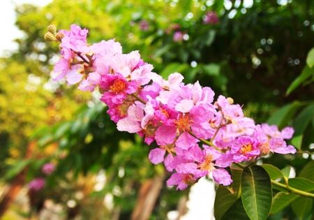 annonaceae: Closeup Cananga flower or Cananga odorata
