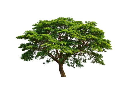Green tree isolated on white background photo