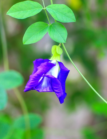 Butterfly pea flower medicinal herbs to treat disease and certain types of food coloring to make purple toxic safe  photo