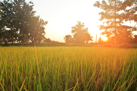 Landspace view over paddy field plantation in morning sunrise photo