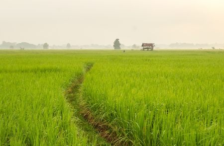 Beautiful rice field at Thailand in the morning photo