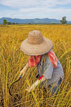 Farmer harvesting rice in rice field photo