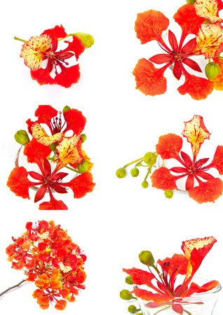 Closeup set  Pride of Barbados, Isolated on white background 스톡 콘텐츠