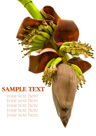 Banana flower blossom with little bananas isolated on white background photo