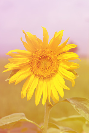 colourfully: Sunflowers natural colourfully backgrounds Stock Photo