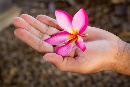 Pink Plumeria flower in hand holding