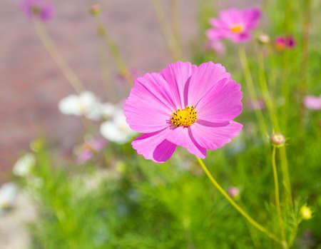 Cosmos flower in the field 版權商用圖片