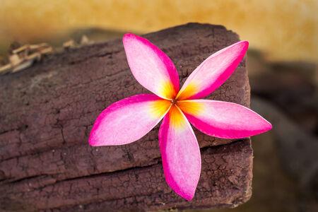 whiteness: Frangipani tropical flowers on a wood background