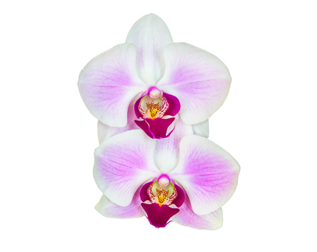 san valentin: Close up orchid on isolated white background
