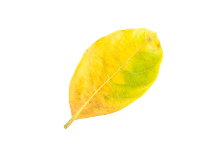 Fresh yellow leaf isolated on a white background
