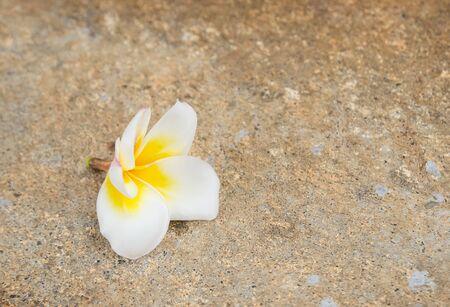 tropica: Close up fresh Plumeria Flower on the floor