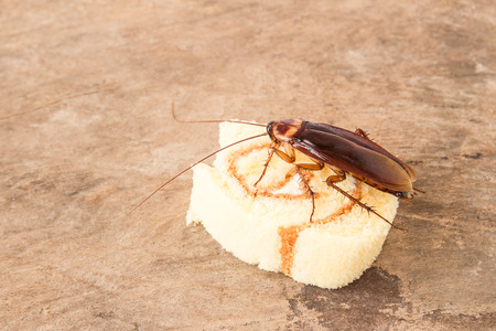 scavenging: Cockroach eating a bread on a wooden table