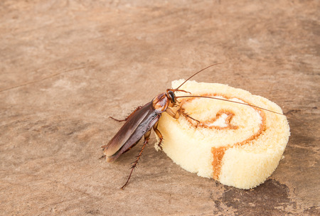 Cockroach eating a bread on wooden table