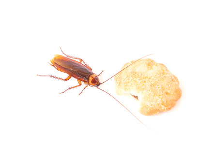 scavenging: Cockroach eating a cookies on a white background Stock Photo