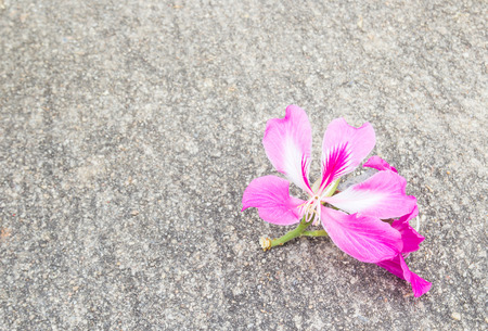 orchid tree: Purple Orchid Tree or Bauhinia purpurea L. on the ground
