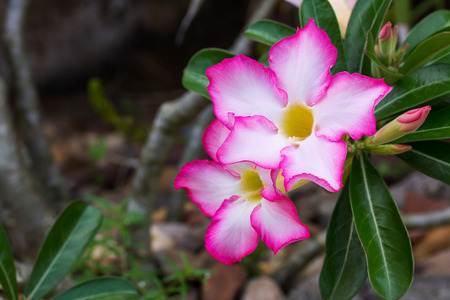 Dewy white yellow pink Adenium flower with leafs, closeup angle view, flower at the upper left of the screen Stock Photo