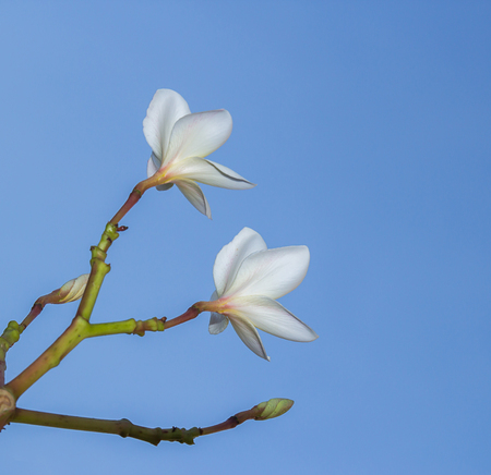 Plumeria flower on blue sky background and Space for Text And design